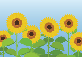Vector illustration of a sunflower field with flowers and leaves with a blue sky