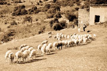 Herd in Abruzzo Region, Italy