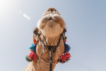 The decorated head of a camel, close-up, against a sky background.