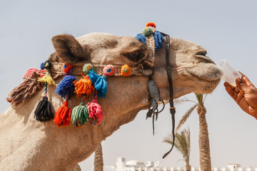 man gives to drink from a plastic cup of camel, close-up
