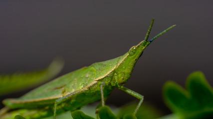 Grasshopper Macro Image