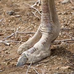 Straußenfuß oder Fuß von Dinosaurier