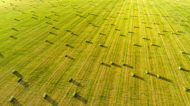 Alfalfa Field with Small Square Bales at Dusk