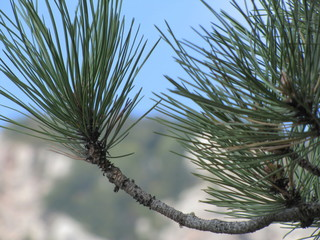 Pine branch against the background of the sky