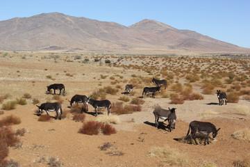 Wildeselherde in den Anden Chiles