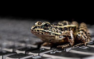 A frog on a keyboard