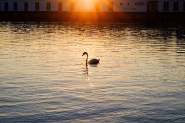 White swan on a lake at sunset