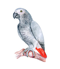 The parrot Jaco grey sits on a branch isolatedon a white background. Red-tailed Jaco. Watercolor. Illustration. Template. Handmade. Close-up. Clip art.
