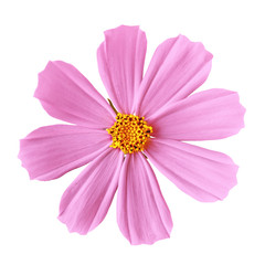 flower pink yellow cosmos (mexican aster), isolated on a white  background. Close-up. Element of design.