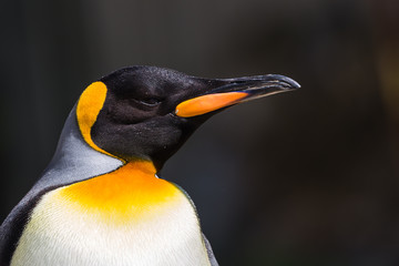King Penguin captured in Gloucestershire during the summer of 2018.
