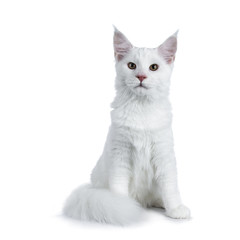 Solid white Maine Coon cat kitten with attitude sitting up straight with tail curled around paws, looking beside lens isolated on white background