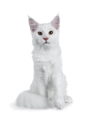 Solid white Maine Coon cat kitten with attitude sitting up straight with tail curled around paws and one paw lifted in air, looking at lens isolated on white background