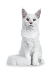 Solid white Maine Coon cat kitten with attitude sitting up straight with tail curled around paws, looking at lens isolated on white background