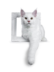 Solid white Maine Coon cat kitten with attitude laying through a white picture frame with one paw hanging down, looking straight in lens isolated on white background