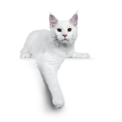 Solid white Maine Coon cat kitten with attitude laying down with one paw hanging down, looking straight in lens isolated on white background