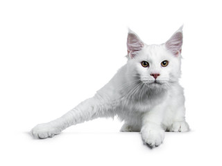 Solid white Maine Coon cat kitten with attitude standing ready to jump (like ice skater), looking straight in lens isolated on white background