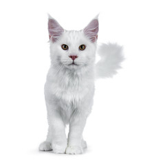 Solid white Maine Coon cat kitten with attitude walking / standing towards camera looking straight in lens isolated on white background