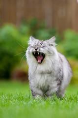Gähnende Katze im Garten