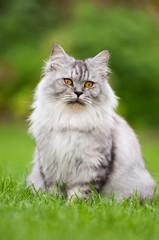 Britisch Langhaar Katze im Garten