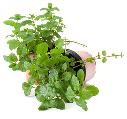 Peppermint herb growing in flowerpot  isolated on white background cutout. Mint leaves. Gardening concept.