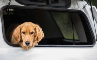 Cute dog waiting in trunk of white car