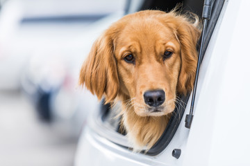 Cute dog with sad face is waiting in back of car