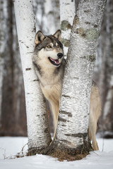 Fototapete - Grey Wolf (Canis lupus) Smiles Right
