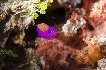 Parasite attacking tropical fish in coral reef