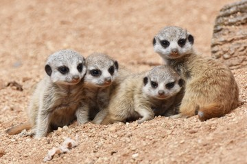 Four cute Meerkat Puppies are looking