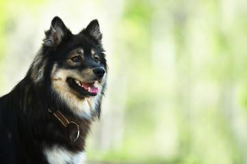 Portrait of a Finnish Lapphund.