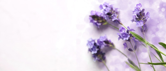 Fresh lavender flowers on pink background.