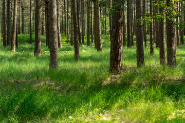 Kempen forest in Brabant, Netherlands, healthy walking in sunny day in pine forest with green grass