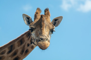 Portrait of funny looking giraffe animal only head and neck close up with blue sky background copy space