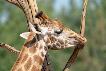 Giraffe animal in safari park close up