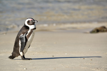 African penguin walking on Boulders Beach near Cape Town, South Africa