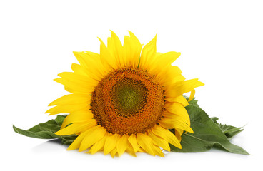 Beautiful sunflower with leaves on white background