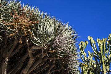 Beautiful Aloe Bainesii Tree Growing Next to a Candelabra Cactus in San Diego, California, USA