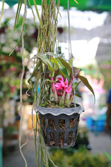 Orchid plant was hanging in pot.