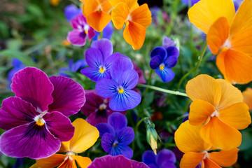 Foto op Canvas Pansies Floral Colour Explosion
