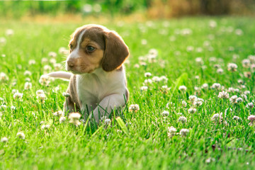 A baby beagle searches the yard