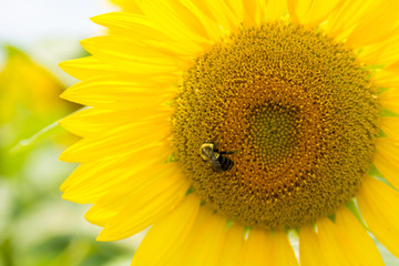 A bee polinates on a sunflower