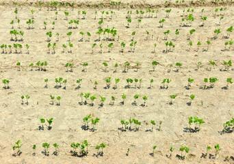 渇いた土と大豆の芽
