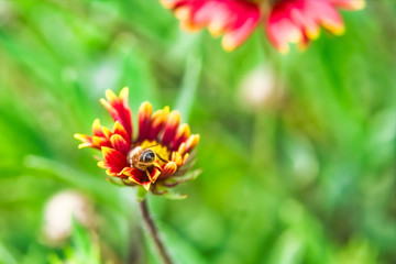 Bee pollinating a red and yellow flower blanket flower, Gaillardia pulchella, on a green soft focus background