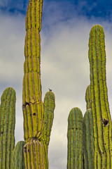 A bird sitting atop a cactus in group of tall saguaro cactus
