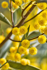 Close-up of a southern snakewood, Acacia eremaea, plant against a soft focus background