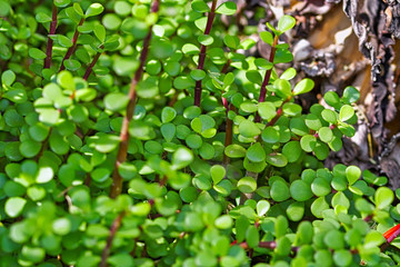Green succulent plant natural background