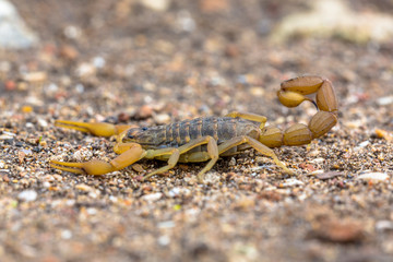 Common Yellow Scorpion side