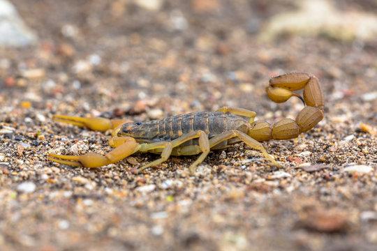 Common Yellow Scorpion side