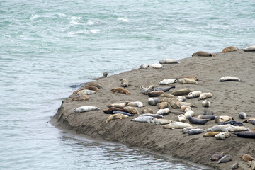 Harbor Seals hauled out on a sandy beach in Northern CA on an over cast day. When not actively feeding, they haul to rest and are gregarious when hauled out and during the breeding season.