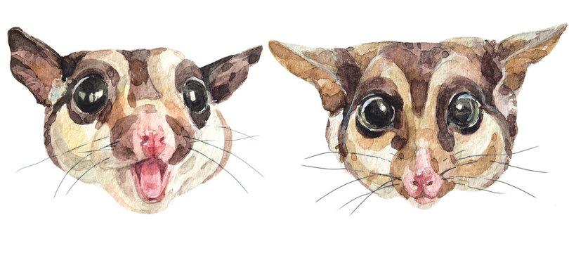 watercolor australian possum